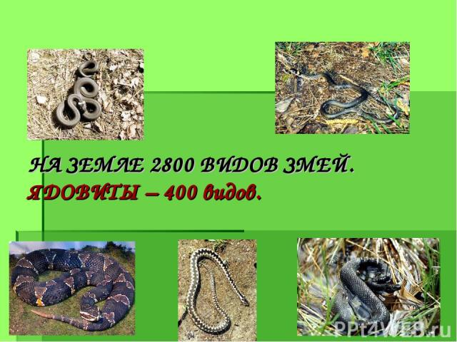 НА ЗЕМЛЕ 2800 ВИДОВ ЗМЕЙ. ЯДОВИТЫ – 400 видов.