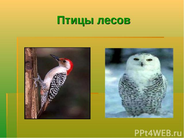 Птицы лесов