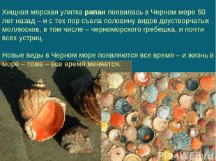 Хищная морская улитка рапан появилась в Черном море 50 лет назад – и с тех пор с