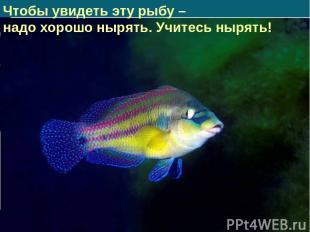 Чтобы увидеть эту рыбу – надо хорошо нырять. Учитесь нырять!