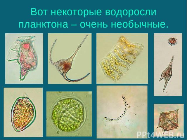 Вот некоторые водоросли планктона – очень необычные.