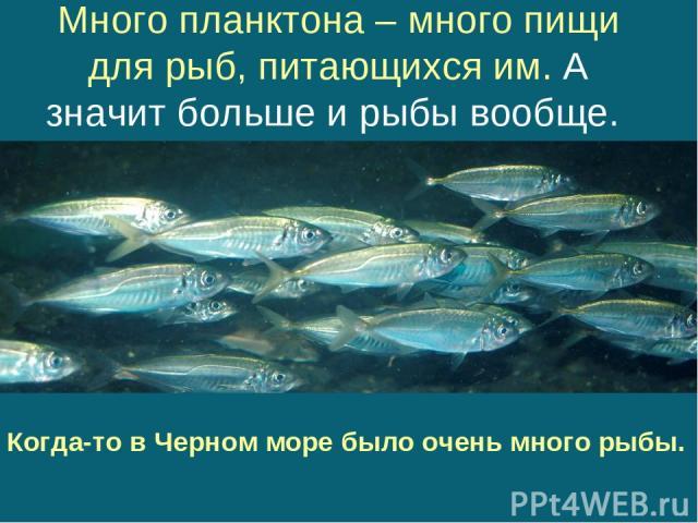Много планктона – много пищи для рыб, питающихся им. А значит больше и рыбы вообще. Когда-то в Черном море было очень много рыбы.