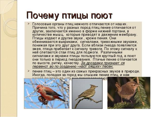 Почему птицы поют Голосовые органы птиц немного отличаются от наших. Причина того, что у разных пород птиц пение отличается от других, заключается именно в форме нижней гортани, в количестве мышц, которые приводят в движение мембрану. Птицы издают и…