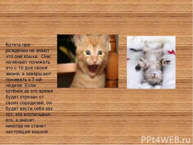 Котята при рождении не знают что они кошки. Они начинают понимать это с 10 дня своей жизни, а завершают понимать к 7-ой неделе. Если котёнок за это время будет отрезан от своих сородичей, он будет вести себя как тот, кто воспитывал его, а значит, ни…