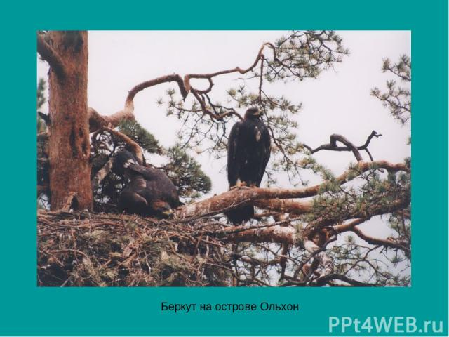 Беркут на острове Ольхон