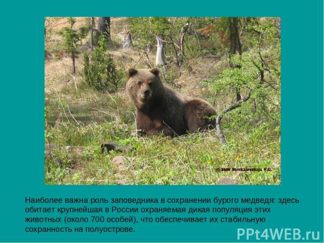 Наиболее важна роль заповедника в сохранении бурого медведя: здесь обитает крупнейшая в России охраняемая дикая популяция этих животных (около 700 особей), что обеспечивает их стабильную сохранность на полуострове.