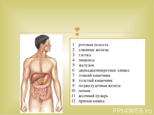 1 ротовая полость 2 слюнные железы 3 глотка 4 пищевод 5 желудок 6 двенадцатиперстная кишка 7 тонкий кишечник 8 толстый кишечник 9 поджелудочная железа 10 печень 11 желчный пузырь 12 прямая кишка