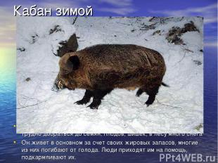 Кабан зимой У кабана густая щетина, пятак и клыки. Зимой он мало ест, трудно доб