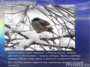 Воробей зимой Зимой воробьи мало чирикают, а больше молчат, меньше двигаются, им
