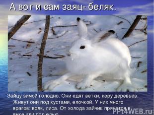 Зайцу зимой голодно. Они едят ветки, кору деревьев. Живут они под кустами, елочк
