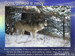 Волк зимой в лесу Волк – это хищник. У него густая серая шерсть. Он может быстро