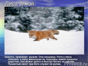 Лиса зимой. Шерсть- оранжево- рыжая. Она хищница. Ноги у лисы сильные, а лапы ма