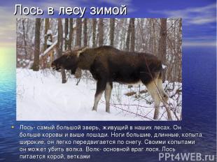 Лось в лесу зимой Лось- самый большой зверь, живущий в наших лесах. Он больше ко