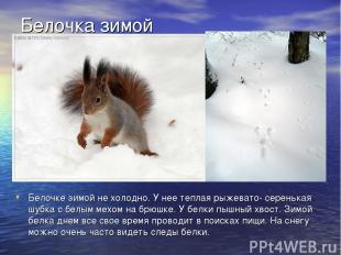 Белочке зимой не холодно. У нее теплая рыжевато- серенькая шубка с белым мехом н