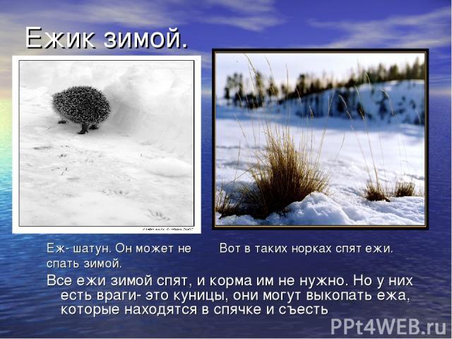 Ежик зимой. Еж- шатун. Он может не Вот в таких норках спят ежи. спать зимой. Все ежи зимой спят, и корма им не нужно. Но у них есть враги- это куницы, они могут выкопать ежа, которые находятся в спячке и съесть
