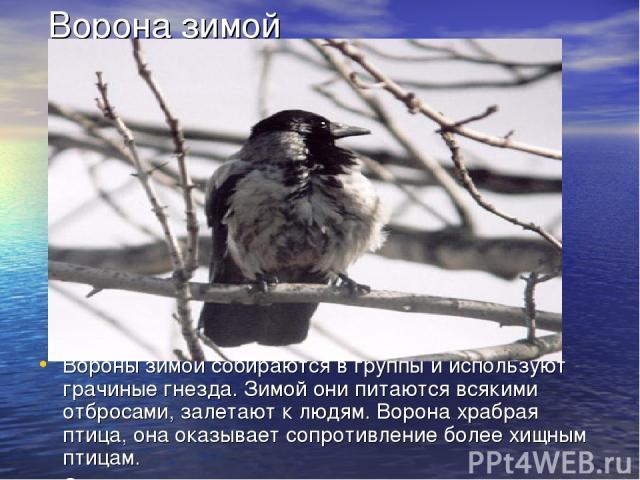 Ворона зимой Вороны зимой собираются в группы и используют грачиные гнезда. Зимой они питаются всякими отбросами, залетают к людям. Ворона храбрая птица, она оказывает сопротивление более хищным птицам. Серые вороны частично на зиму улетают на юг.