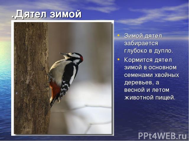 .Дятел зимой Зимой дятел забирается глубоко в дупло. Кормится дятел зимой в основном семенами хвойных деревьев, а весной и летом животной пищей.