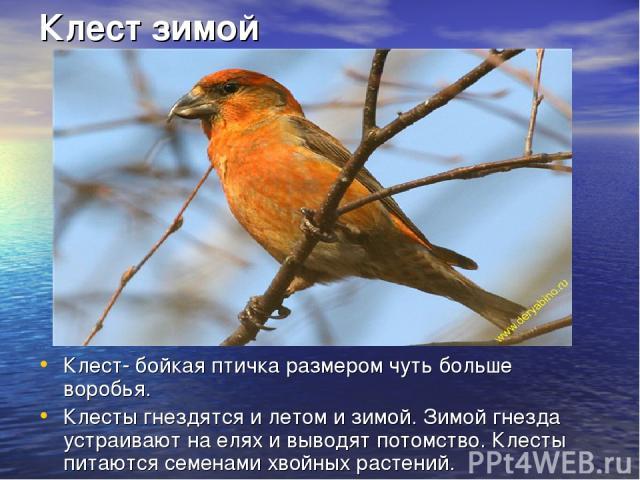 Клест зимой Клест- бойкая птичка размером чуть больше воробья. Клесты гнездятся и летом и зимой. Зимой гнезда устраивают на елях и выводят потомство. Клесты питаются семенами хвойных растений.