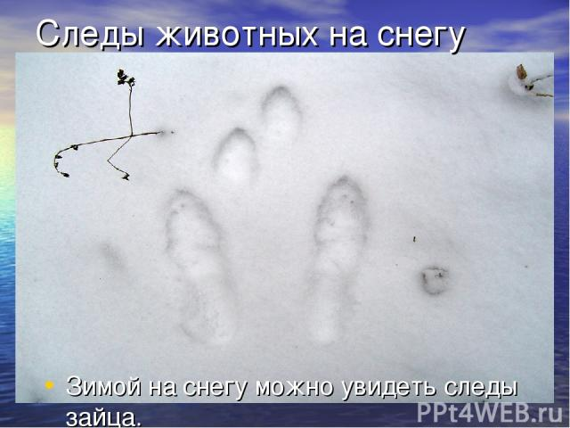 Следы животных на снегу Зимой на снегу можно увидеть следы зайца.