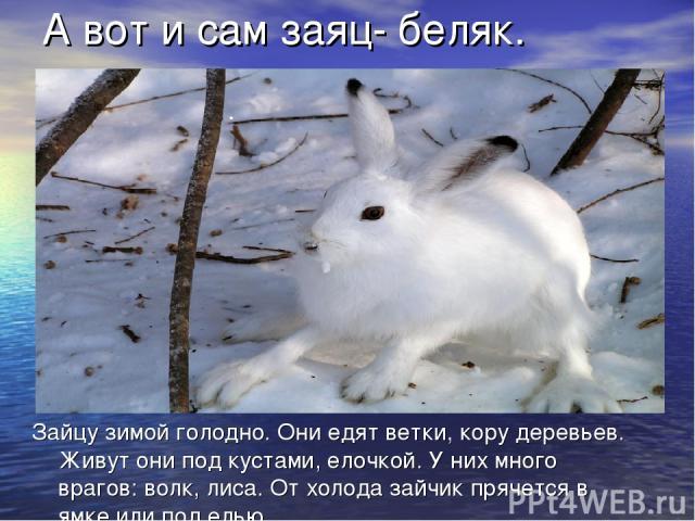 Зайцу зимой голодно. Они едят ветки, кору деревьев. Живут они под кустами, елочкой. У них много врагов: волк, лиса. От холода зайчик прячется в ямке или под елью. А вот и сам заяц- беляк.