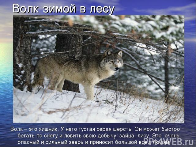 Волк зимой в лесу Волк – это хищник. У него густая серая шерсть. Он может быстро бегать по снегу и ловить свою добычу: зайца, лису. Это очень опасный и сильный зверь и приносит большой вред людям.