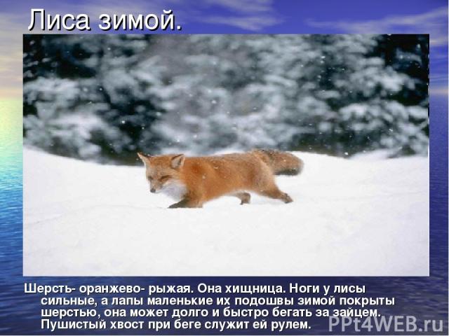 Лиса зимой. Шерсть- оранжево- рыжая. Она хищница. Ноги у лисы сильные, а лапы маленькие их подошвы зимой покрыты шерстью, она может долго и быстро бегать за зайцем. Пушистый хвост при беге служит ей рулем.