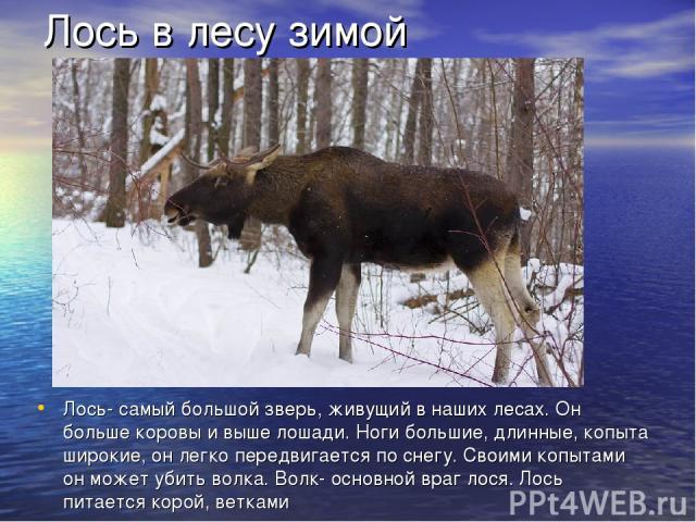 Лось в лесу зимой Лось- самый большой зверь, живущий в наших лесах. Он больше коровы и выше лошади. Ноги большие, длинные, копыта широкие, он легко передвигается по снегу. Своими копытами он может убить волка. Волк- основной враг лося. Лось питается…