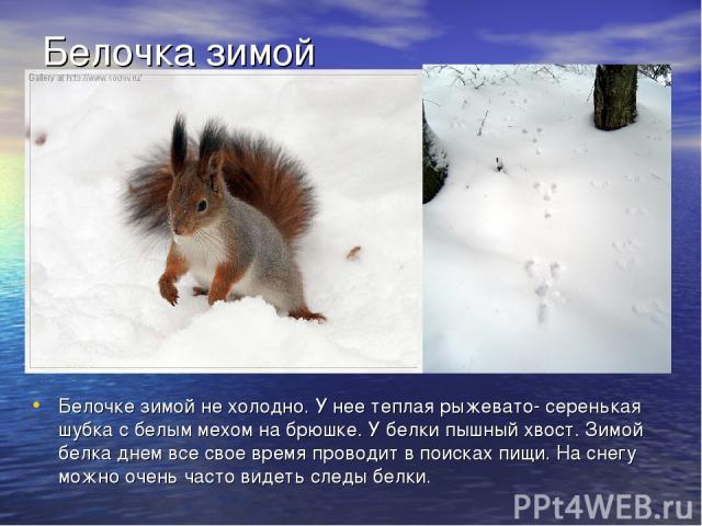 Белочке зимой не холодно. У нее теплая рыжевато- серенькая шубка с белым мехом на брюшке. У белки пышный хвост. Зимой белка днем все свое время проводит в поисках пищи. На снегу можно очень часто видеть следы белки. Белочка зимой