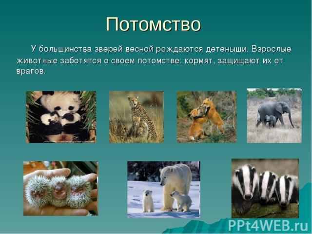 Потомство У большинства зверей весной рождаются детеныши. Взрослые животные заботятся о своем потомстве: кормят, защищают их от врагов.