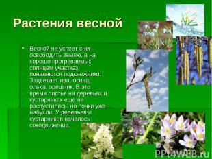 Растения весной Весной не успеет снег освободить землю, а на хорошо прогреваемых