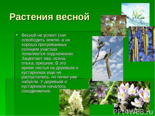 Растения весной Весной не успеет снег освободить землю, а на хорошо прогреваемых солнцем участках появляются подснежники. Зацветает ива, осина, ольха, орешник. В это время листья на деревьях и кустарниках еще не распустились, но почки уже набухли. У…