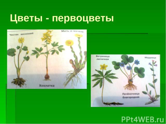 Цветы - первоцветы