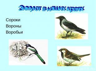 Сороки Вороны Воробьи