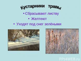 Сбрасывают листву Желтеют Уходят под снег зелёными