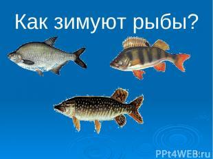Как зимуют рыбы? *