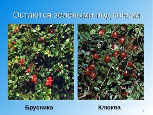 Остаются зелёными под снегом Брусника Клюква *