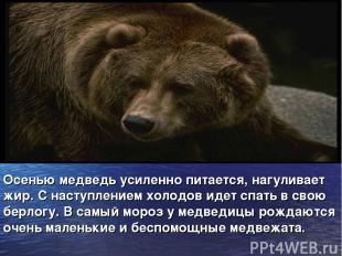 Осенью медведь усиленно питается, нагуливает жир. С наступлением холодов идет сп