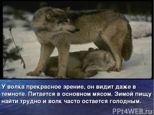 У волка прекрасное зрение, он видит даже в темноте. Питается в основном мясом. З