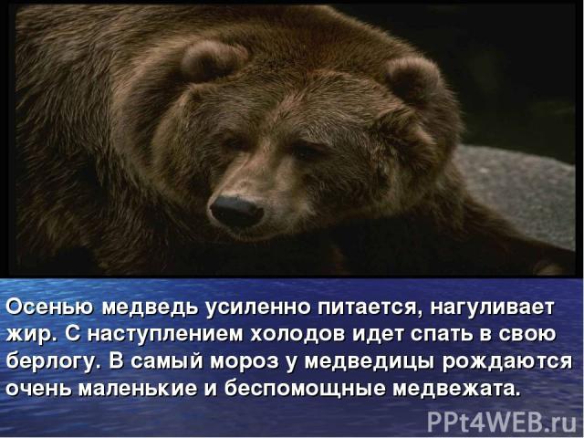 Осенью медведь усиленно питается, нагуливает жир. С наступлением холодов идет спать в свою берлогу. В самый мороз у медведицы рождаются очень маленькие и беспомощные медвежата.