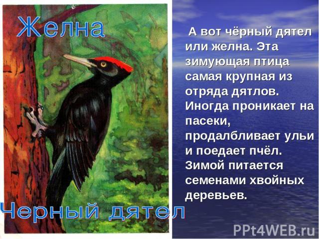 А вот чёрный дятел или желна. Эта зимующая птица самая крупная из отряда дятлов. Иногда проникает на пасеки, продалбливает ульи и поедает пчёл. Зимой питается семенами хвойных деревьев.