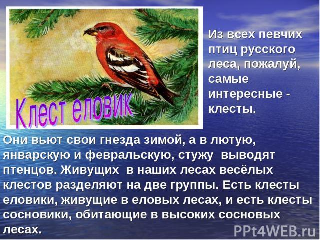 Они вьют свои гнезда зимой, а в лютую, январскую и февральскую, стужу выводят птенцов. Живущих в наших лесах весёлых клестов разделяют на две группы. Есть клесты еловики, живущие в еловых лесах, и есть клесты сосновики, обитающие в высоких сосновых …