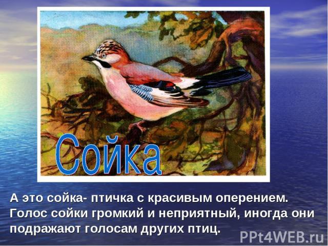 А это сойка- птичка с красивым оперением. Голос сойки громкий и неприятный, иногда они подражают голосам других птиц.