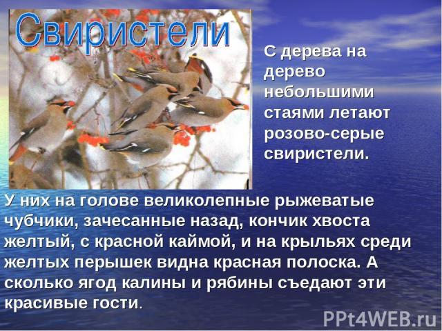 У них на голове великолепные рыжеватые чубчики, зачесанные назад, кончик хвоста желтый, с красной каймой, и на крыльях среди желтых перышек видна красная полоска. А сколько ягод калины и рябины съедают эти красивые гости. С дерева на дерево небольши…
