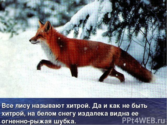 Все лису называют хитрой. Да и как не быть хитрой, на белом снегу издалека видна ее огненно-рыжая шубка.