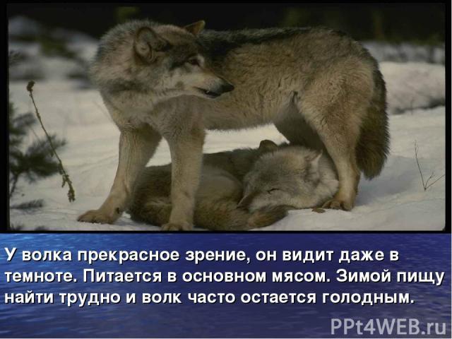 У волка прекрасное зрение, он видит даже в темноте. Питается в основном мясом. Зимой пищу найти трудно и волк часто остается голодным.