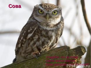 Угадайте, что за птица Света яркого боится, Клюв крючком, глаз пятачком? Сова
