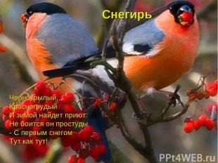 Снегирь Чернокрылый, Красногрудый И зимой найдет приют: Не боится он простуды -