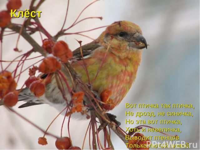 Вот птичка так птичка, Не дрозд, не синичка, Но эта вот птичка, Хоть и невеличка, Выводит птенцов Только лютой зимой. Клёст