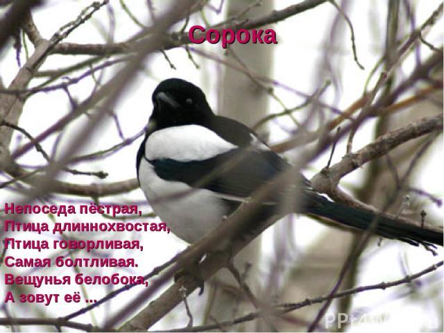 Непоседа пёстрая, Птица длиннохвостая, Птица говорливая, Самая болтливая. Вещунья белобока, А зовут её ... Сорока