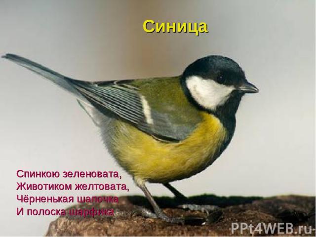 Спинкою зеленовата, Животиком желтовата, Чёрненькая шапочка И полоска шарфика Синица